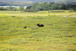 Камчатка-славится-медведями-300x200