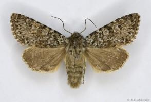 Lasionycta-hampsoni-Varga-1974-e1613620205485