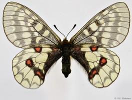 Parnassius-eversmanni-eversmanni-Menetries-1850-fem