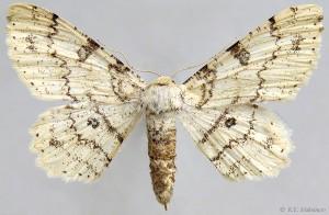 Ascotis selenaria artemis (Staudinger, 1897)